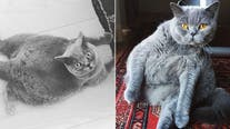 Veterinarian adopts round cat with extreme scoliosis after owner tried to have her put down