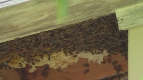 San Marcos man attacked by swarm of bees, stung an estimated 300 times