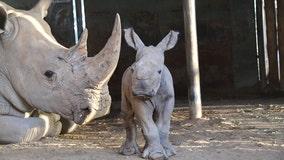 Monarto Safari Park welcomes birth of Southern White Rhinoceros calf