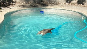 Raccoon goes for leisurely swim in family's pool