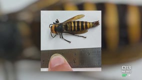 State agriculture department captures first male Asian giant hornet detected in the U.S.