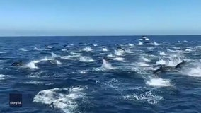 Hundreds of dolphins 'stampede' next to tour boat off California coast