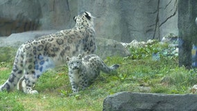 Little snow leopard cub makes big debut at the Brookfield Zoo