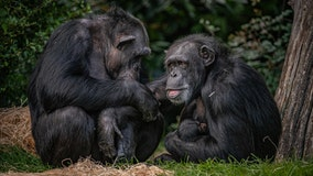 Chester Zoo welcomes 'hugely significant' birth of endangered chimpanzee