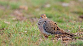 Georgetown PD reminding public about dove hunting season in Williamson County