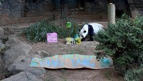 Zoo Atlanta throws birthday bash for 23-year-old giant panda Yang Yang