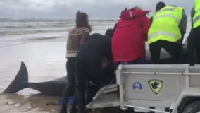 Nearly 500 pilot whales, including 380 that have died, stranded in Australia