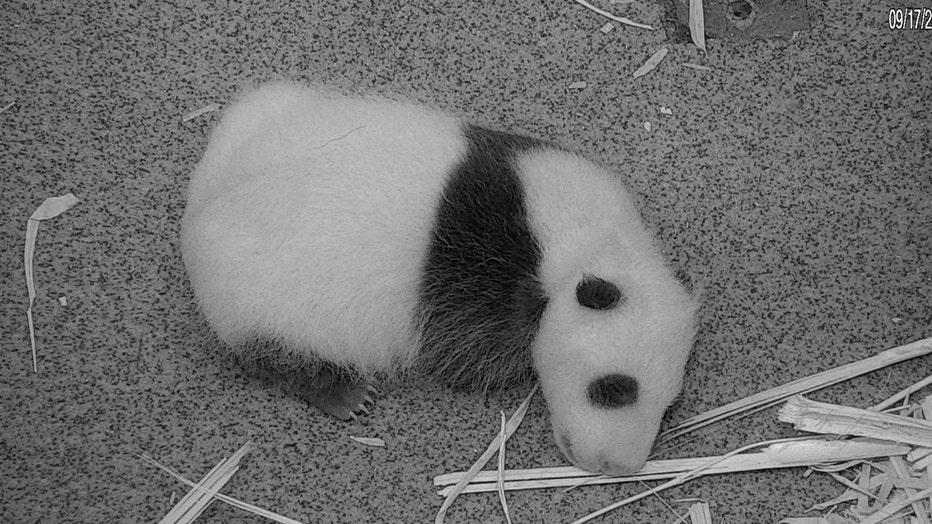 Panda_092120_1.jpg