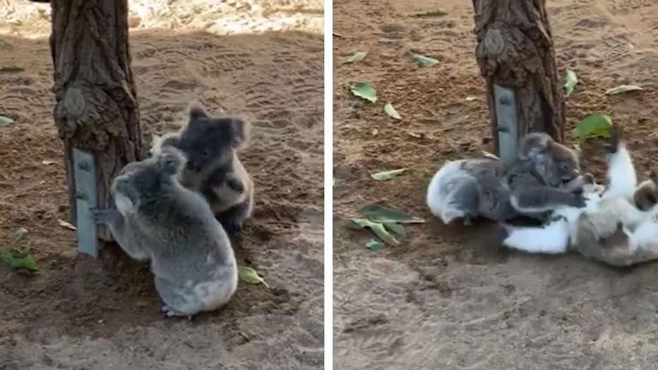 Storyful-241257-Double_Trouble_Koala_Joeys_Wrestle_at_Brisbane_Animal_Shelter_Australia - (4x5).00_00_11_16.Still002