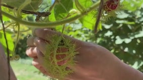 La Flaca uses gardening skills to help the Hispanic community