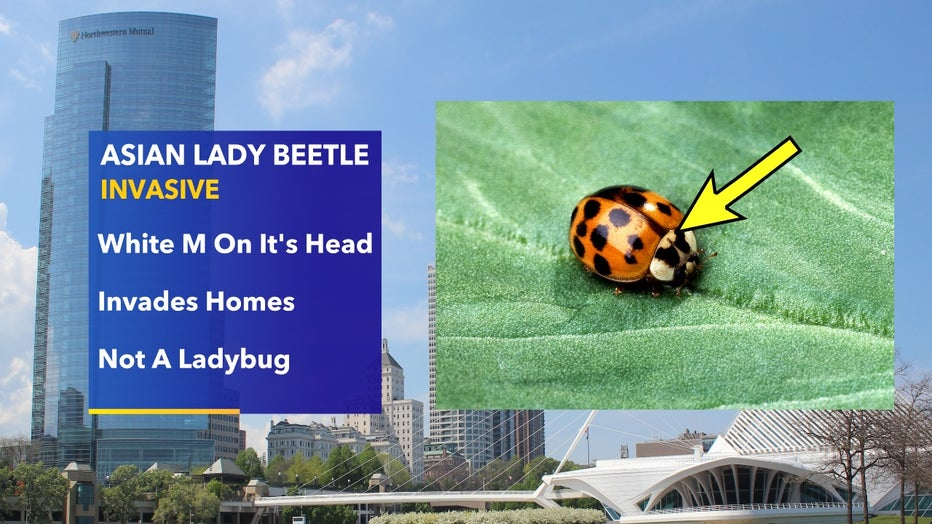 Asian-Lady-Beetle.jpg