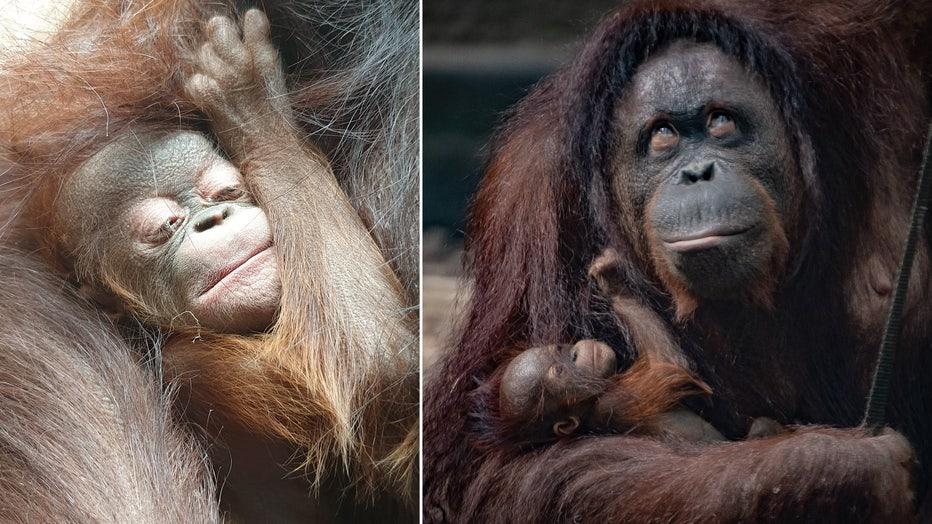chester zoo orangutan baby storyful