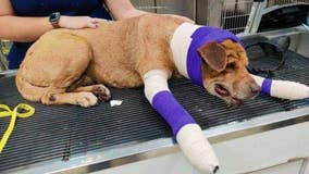 Dog recovering in Lakeway after near-death experience with Mexican cartel