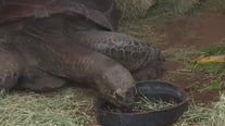 Volunteers in Pflugerville help 800 lb. tortoise during winter storm