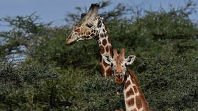 2 giraffes electrocuted after walking into power lines at Kenya park