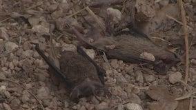 Winter storm has devastating impact on Texas bat population