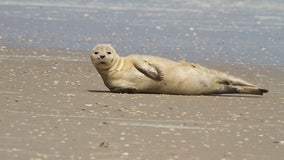 Non-native harbor seal appears on north Florida beach