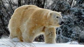 Female polar bear killed by male bear at Detroit Zoo during breeding