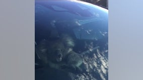 Koala gets in the driver's seat after causing multi-car crash on Australian freeway