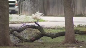Special curbside collection of tree limbs in Georgetown begins