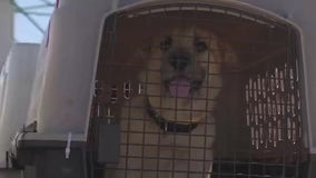More than 70 dogs transported from Texas shelters to Florida