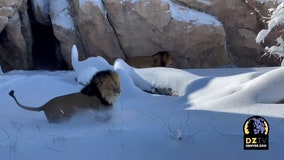 Lions romp in snowfall at Colorado's Denver Zoo
