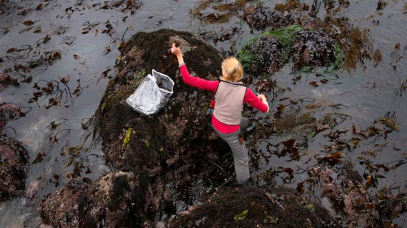 Satellite images show kelp forest off California coast almost gone