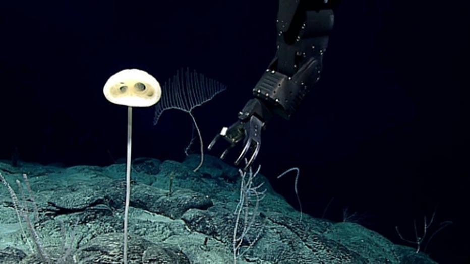 WoRMS-Top-Ten-2020-Advhena-magnifica.png