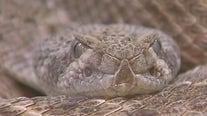 """""""Keep an eye out"""": Rattlesnake bites Bastrop man doing yardwork"""