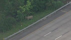 Harris County deputies wrangle loose cow on I-10 East Freeway