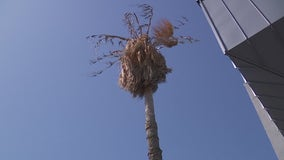 Austin set to cut down palm trees after 90% die in winter freezes