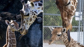 Two baby giraffes born days apart at Florida zoo