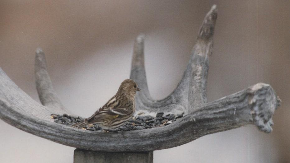Salmonella birds