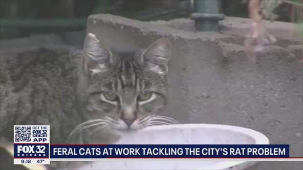 Chicago's newest defense against rats: Unleash the cats