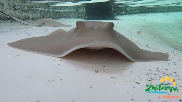 ZooTampa sends water, tissue samples to German lab as investigation into stingray deaths continues