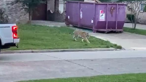 Video shows man confronted by tiger in residential Texas neighborhood