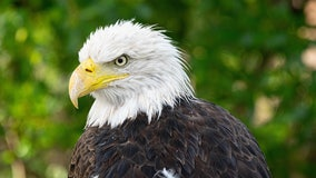 Bald eagle that survived Texas Winter Storm finds home at Houston Zoo