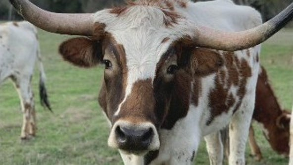 25th anniversary of declaration of Texas Longhorn as official state large mammal