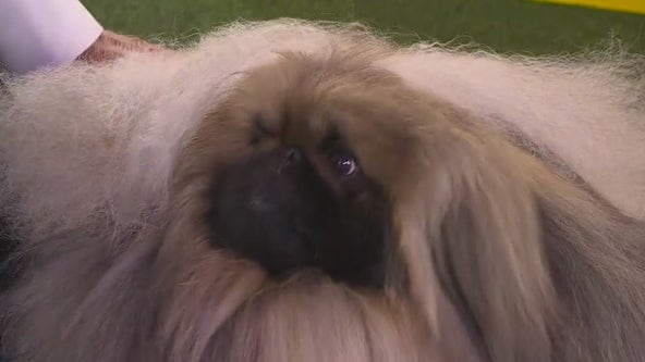 Wasabi the Pekingese named Best in Show at Westminster Kennel Club Dog Show