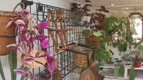 Lady Plants at Plaza Las Rosas Market