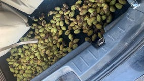 Squirrel stashes nuts in Minnesota officer's squad