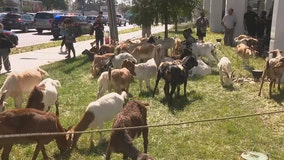 Goats found wandering in Buckhead part of work detail