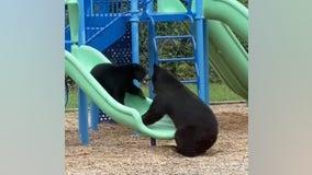 Mama bear and cub enjoy slides at North Carolina playground