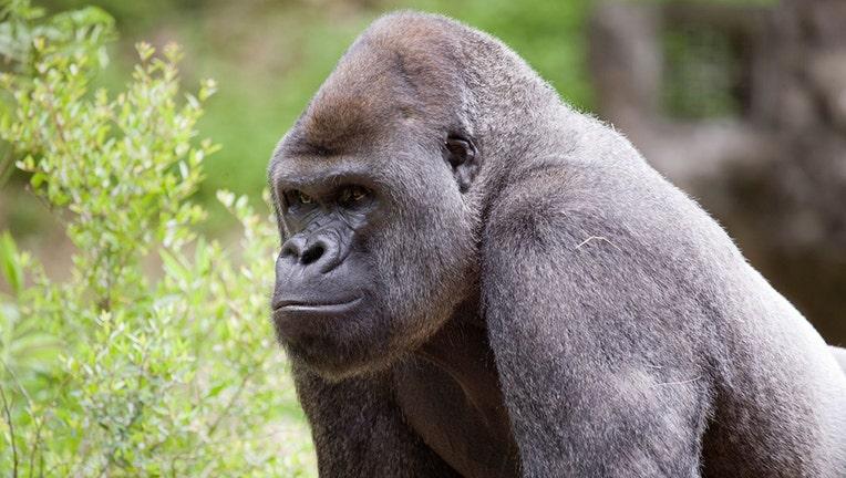 Western lowland gorilla-Zoo Atlanta