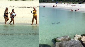Hungry sharks don't deter Nokomis beachgoers