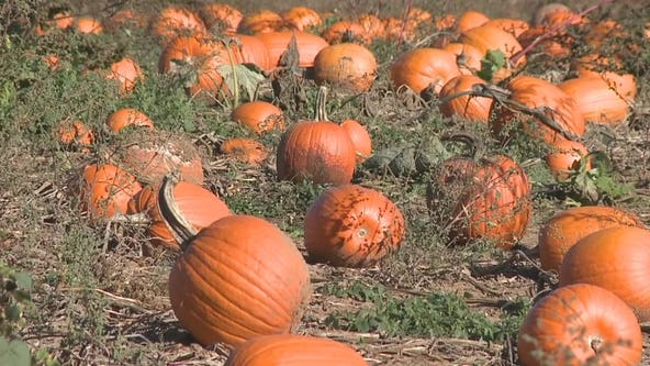 Pumpkin supply impacted by extreme weather and supply chain issues