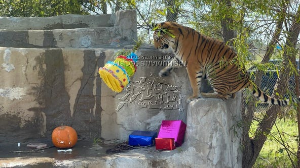 Tiger rescued during Texas winter storm celebrates her first birthday