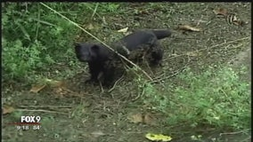 Vandals release more than 30,000 mink from Stearns Co. farm in Minnesota