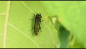 State removing 168 trees along I-94 in St. Paul due to emerald ash borer infestation