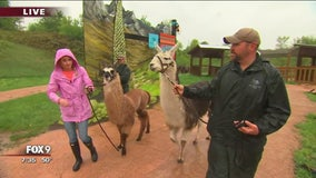 Llamas come to the Minnesota Zoo